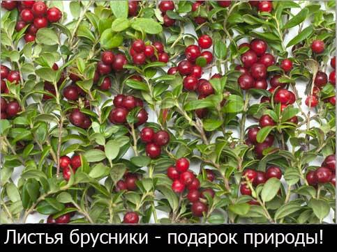 Листья брусники - природное лекарство!